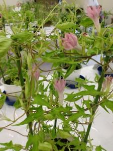 花弁は先の方がピンクでギザギザ、葉の形も変形