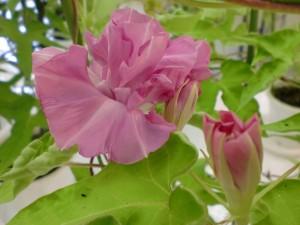 牡丹の様に、幾重にも花弁が変化