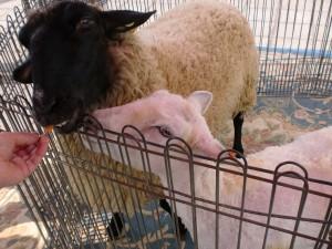 毛刈り後の羊さん